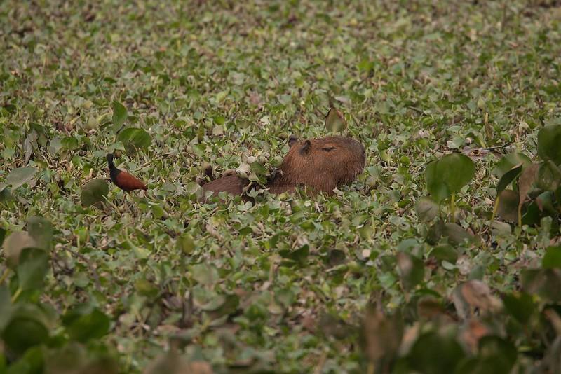 Capybara Pantanal_7I2B8296_10--1085939717-O