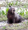 CapybaraPantanal_06-08-15_0018-544041155-O