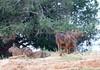 Capybara Pantanal_IMG_1926_10--1085942094-O