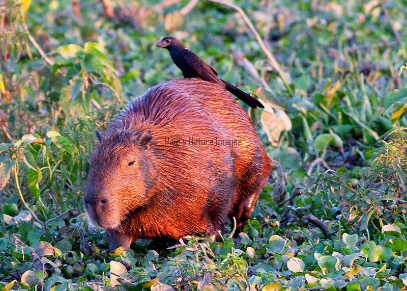 CapybaraPantanal_06-08-13_0039-544039239-O