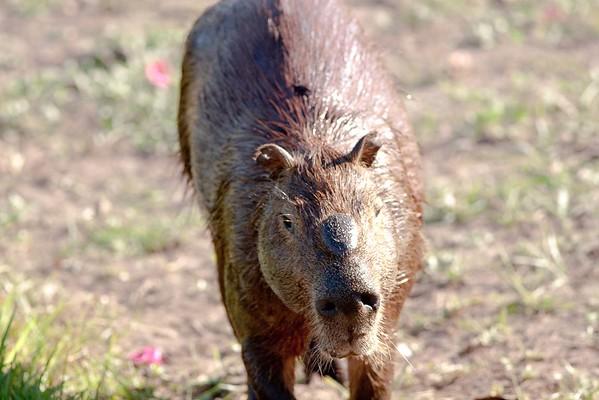 CapybaraPantanal_06-08-13_0011-544039150-O