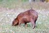 CapybaraPantanal_06-08-13_0031-544039179-O