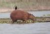 Capybara Pantanal_7I2B9793_10--1085941756-O