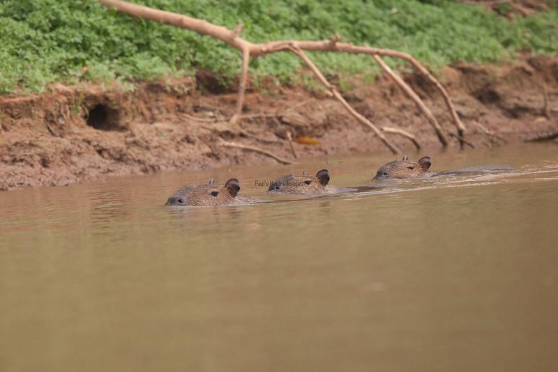 Capybara Pantanal_7I2B8863_10--1085941474-O