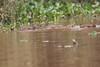 Capybara Pantanal_7I2B8720_10--1085939908-O