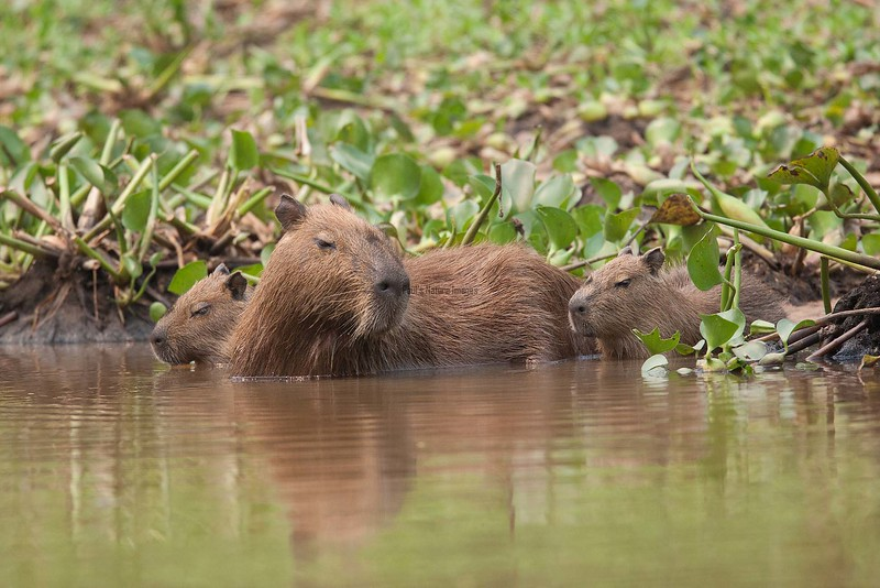 Capybara Pantanal_7I2B8850_10--1085941267-O
