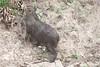 Capybara Pantanal_7I2B8825_10--1085940411-O