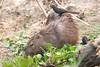 Capybara Pantanal_7I2B8830_10--1085940789-O