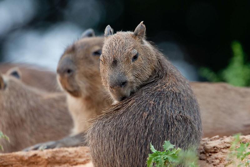 Capybara Pantanal_7I2B9632_10--1085941681-O
