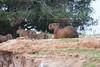 Capybara Pantanal_IMG_1925_10--1085941941-O