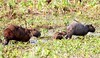 CapybaraPantanal_06-08-15_0013-544039253-O
