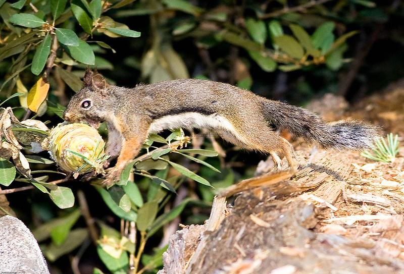 Douglas Squirrel Sequioa_08-09-513593442-O