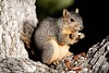 Fox Squirrel Botgard_07-12-15_-545817748-O