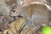 Fox_Squirrel LoversKeyFL_7I2B4-1195533149-O