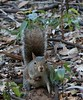Fox_Squirrel BokTowers FL_IMG_-1195532929-O