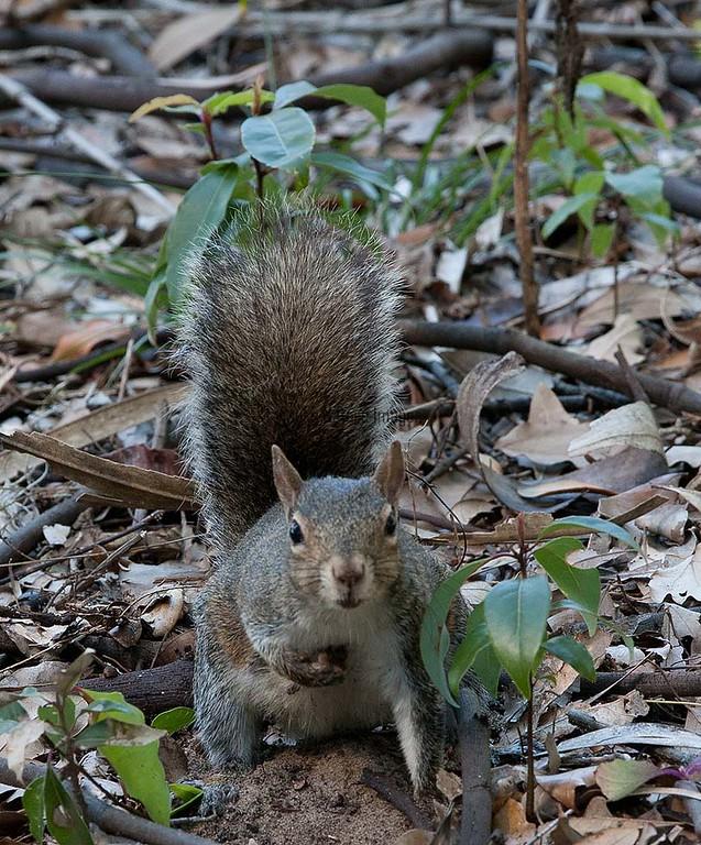 Fox_Squirrel BokTowers FL_IMG_-1195532929-O