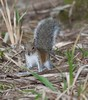 Fox_Squirrel MyakkaLakeFL_7I2B-1195533251-O