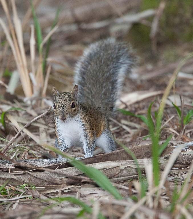 Fox_Squirrel MyakkaLakeFL_7I2B-1195533251-O