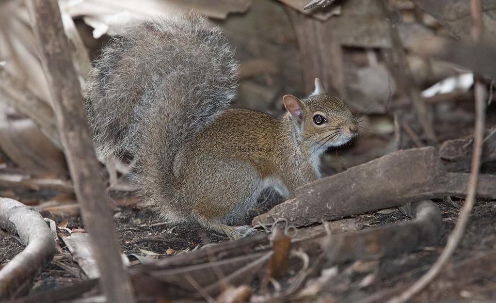Fox_Squirrel MyakkaLakeFL_7I2B-1195533366-O