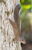 Fox_Squirrel BlueSpringsFL_7I2-1195532863-O