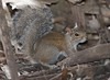Fox_Squirrel MyakkaLakeFL_7I2B-1195533463-O