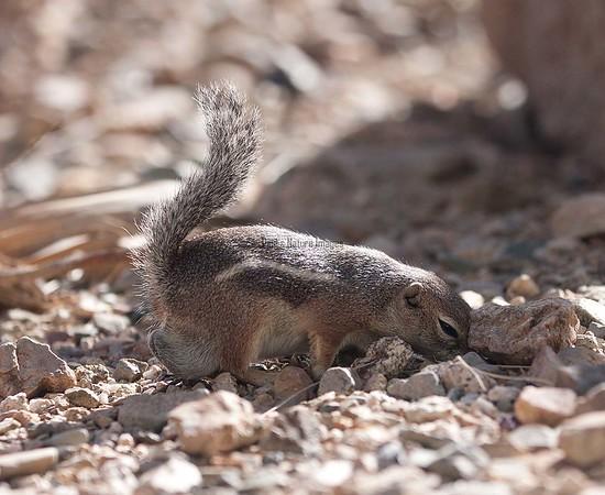 AntelopeGrndSquirrel Tucson_10-1077880551-O