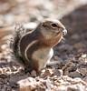 AntelopeGrndSquirrel Tucson_10-1077880751-O