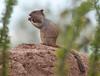GrndSquirrel Tucson_10-10-23_0-1077873771-O