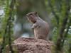 GrndSquirrel Tucson_10-10-23_0-1077874522-O