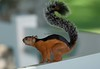 Squirrel Tambor_09-11-08_7I2B2-786470112-O