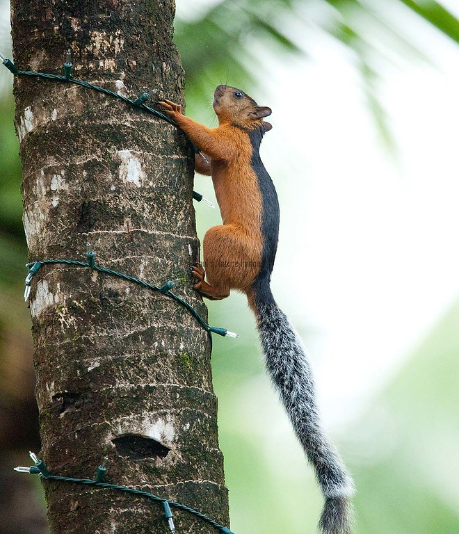 Squirrel Tambor_09-11-07_7I2B1-786469877-O