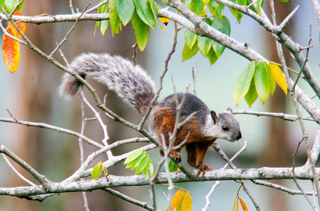 Squirrel-variegated (4)_CostaR-545786303-O