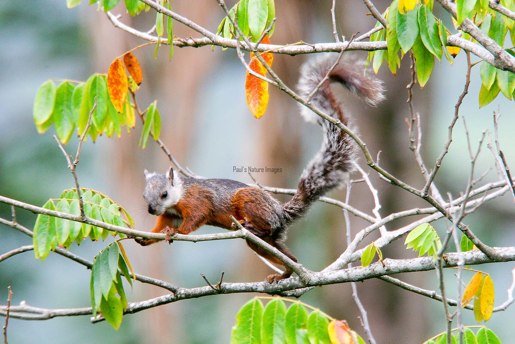 Squirrel-variegated (3)_CostaR-545786170-O