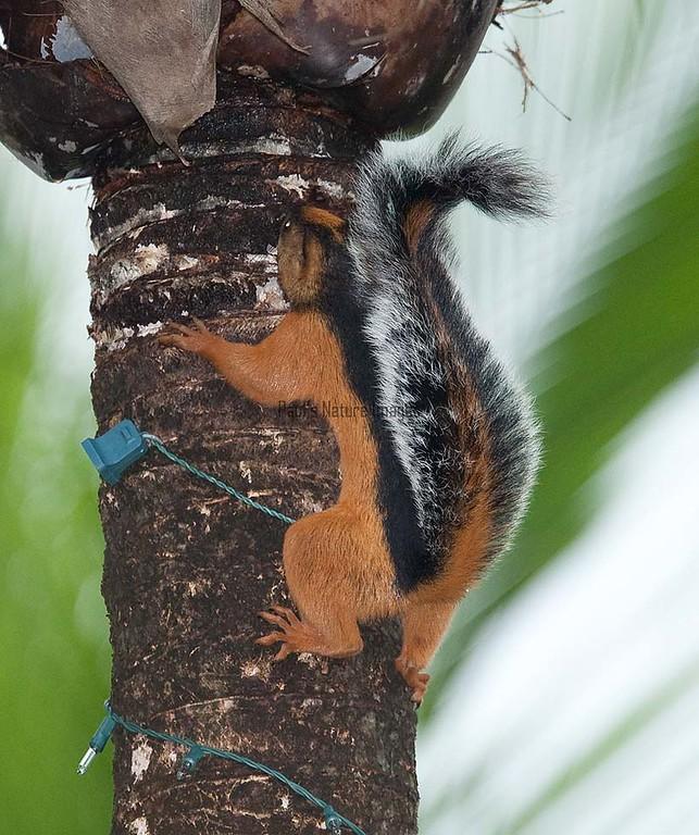 Squirrel Tambor_09-11-07_7I2B1-786469975-O