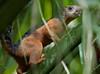 Squirrel Tambor_09-11-09_7I2B2-786470321-O
