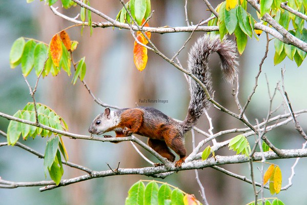 Squirrel-variegated (2)_CostaR-545786019-O