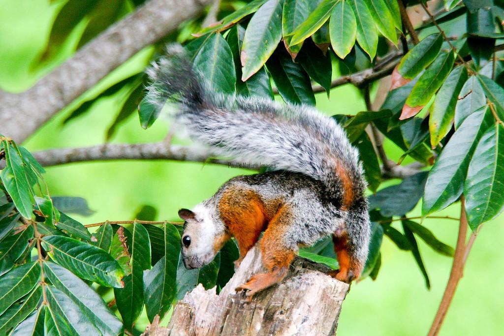 Squirrel-variegated (10)_Costa-545786432-O