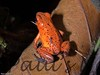 Dendrobates pumilio-strawberry-509222797-O