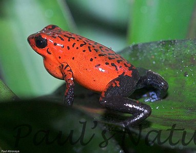 Dendrobates pumilio-strawberry-509222913-O