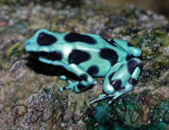 Dendrobates auratus-green and -509222714-O