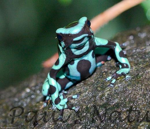 Dendrobates auratus-green and -509222734-O