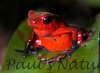 Dendrobates pumilio-strawberry-509222931-O