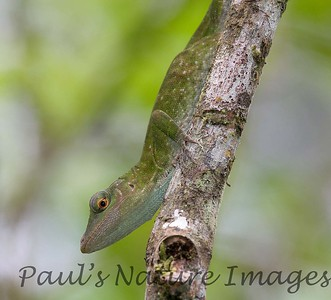 anolis, green_CostaRica-05_07--626768270-O