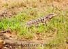 TeguLizard Pantanal_7I2B8513_1-1400668593-O