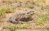 TeguLizard Pantanal_7I2B8510_1-1400667431-O