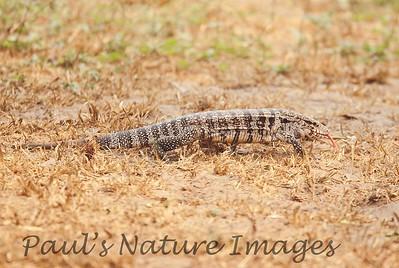 TeguLizard Pantanal_7I2B8514_1-1400668868-O