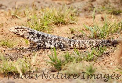 TeguLizard Pantanal_7I2B8509_1-1400667387-O