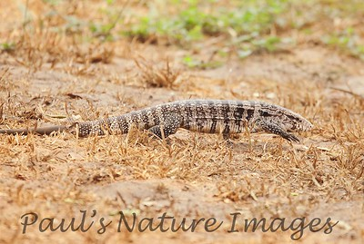 TeguLizard Pantanal_7I2B8515_1-1400669264-O