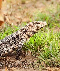 TeguLizard Pantanal_7I2B8512_1-1400667597-O