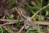 BrnBasilisk_Lizards (64)_06-07-643503668-O